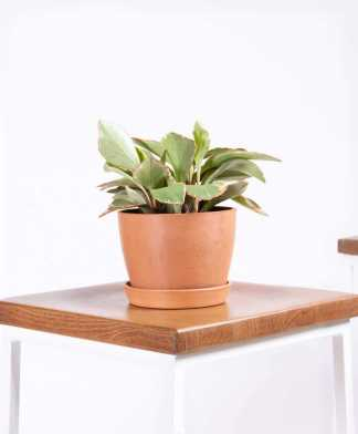 bloomscape_peperomia_ginny_clay