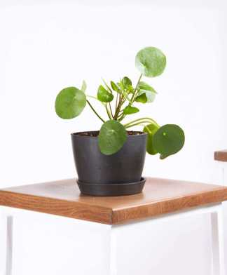 bloomscape_pilea_charcoal