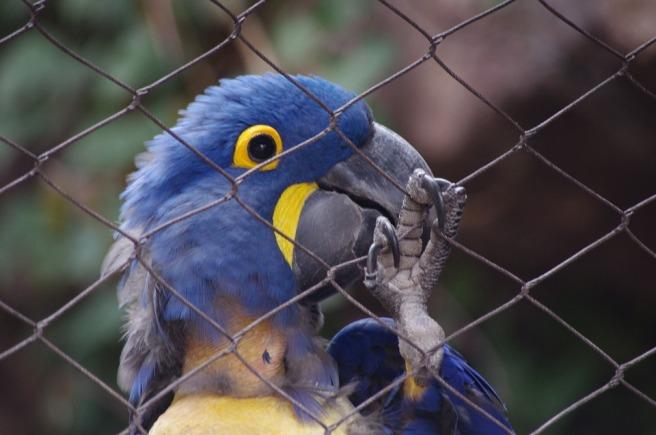 blue_parrot